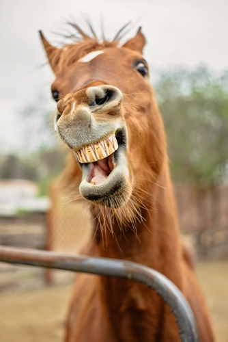 Be sure to regularly check older horses' teeth for EOTRH.