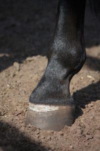 Navicular disease affects the horse hoof.