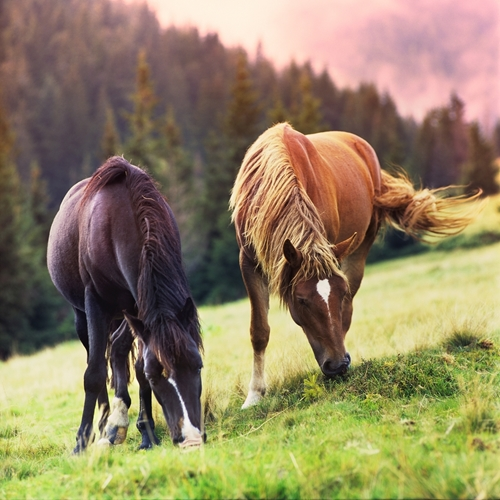Equine obesity is a growing concern in the horse community.