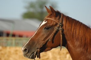 horse cough