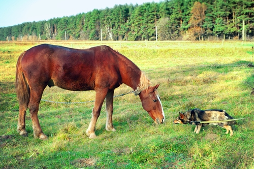Always keep your dog on a leash during the first encounters with a horse.