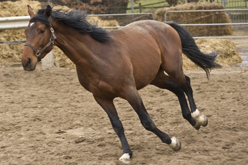 Exercise can make a horse stronger and more capable.