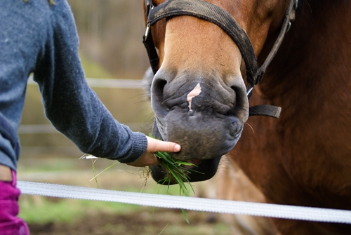 Most therapy horses are donated to treatment facilities by their owners.