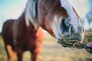 Horses need small feedings throughout the day.