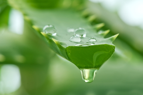 Aloe promotes healthy skin and gut function in horses.