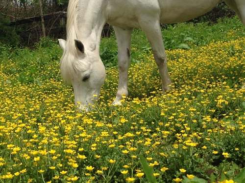 Wait for 6 to 8 inches of plant growth before allowing your horse to graze in spring.