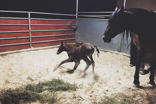 A mare's gestation period lasts for over 300 days.