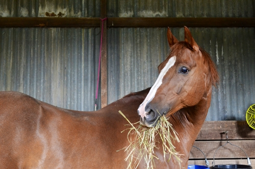 Allow horses to eat hay while in their stalls to promote digestive regularity.