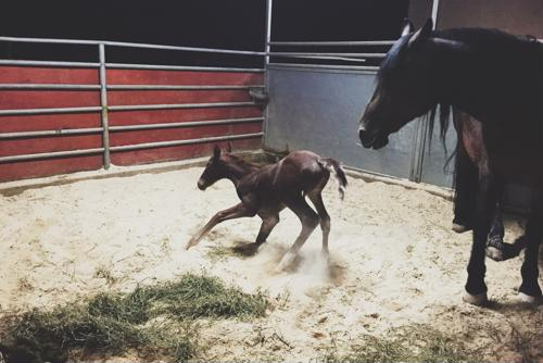 A foal's health at birth is directly tied to the amount of nutrition its mother receives during pregnancy.