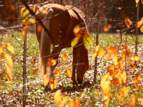 Horses are usually at ease while grazing, signaled by a relaxed neck and ears.