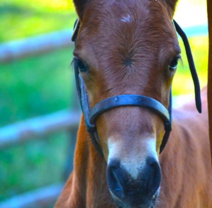 Start training a foal early to encourage good behavior as it grows.